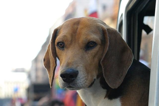 older beagle - Enrico - Flickr