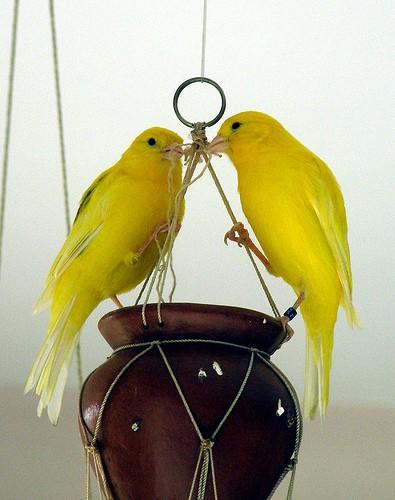 canaries on pot - erix - flickr