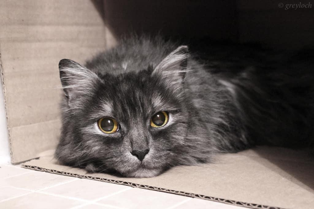 cat in box - greyloch - flickr