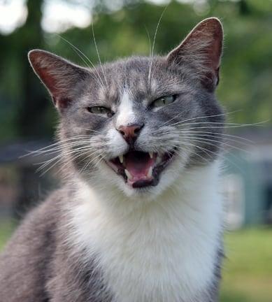 cat meiows - rikkis refuge - flickr