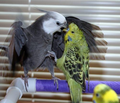 cockatiel and budgie fighting - PuppiesAreProzac - flickr