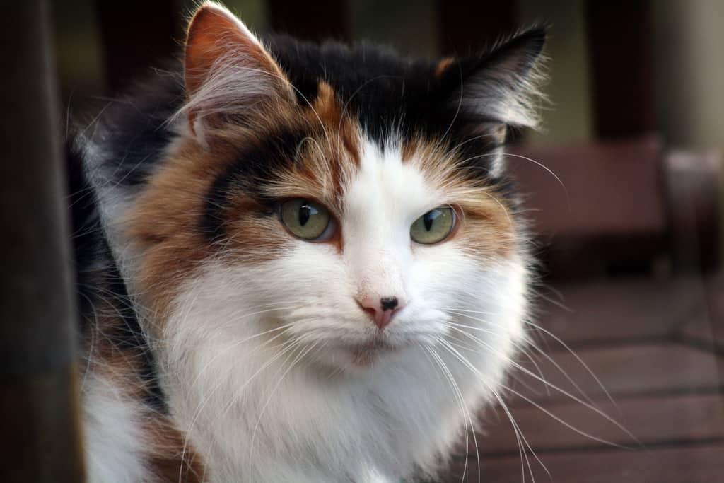 long haired cat - CJ Isherwood - flickr