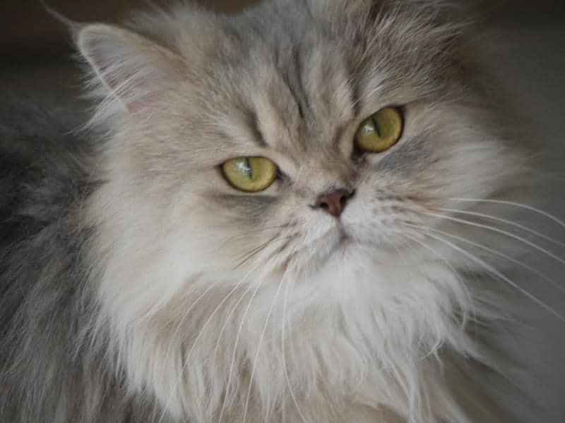 long haired cat - Magnus Brath - flickr