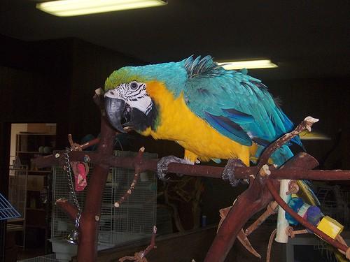 parrot macaw on perch - johnadams1217 - flickr