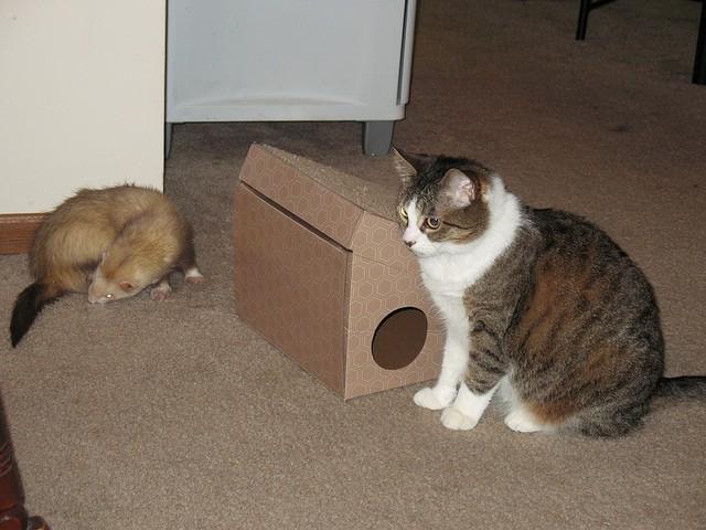 ferret and cat - Jessi Swick - flickr.jpg