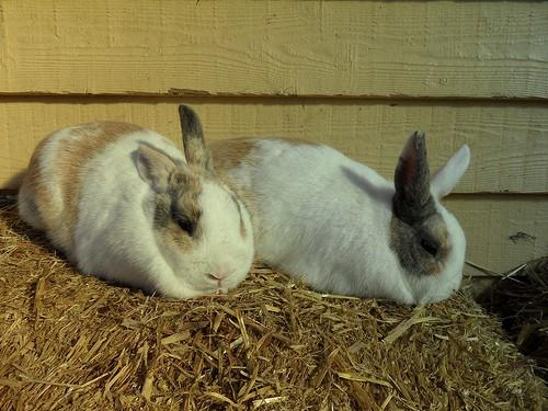 rabbits - rubyblossom - flickr