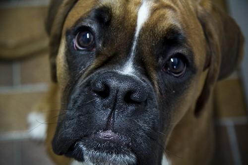 boxer - LukePricePhotography - flickr