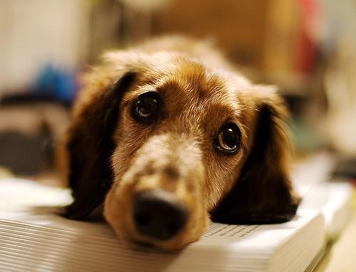 dog looking sad - Soggydan - flickr