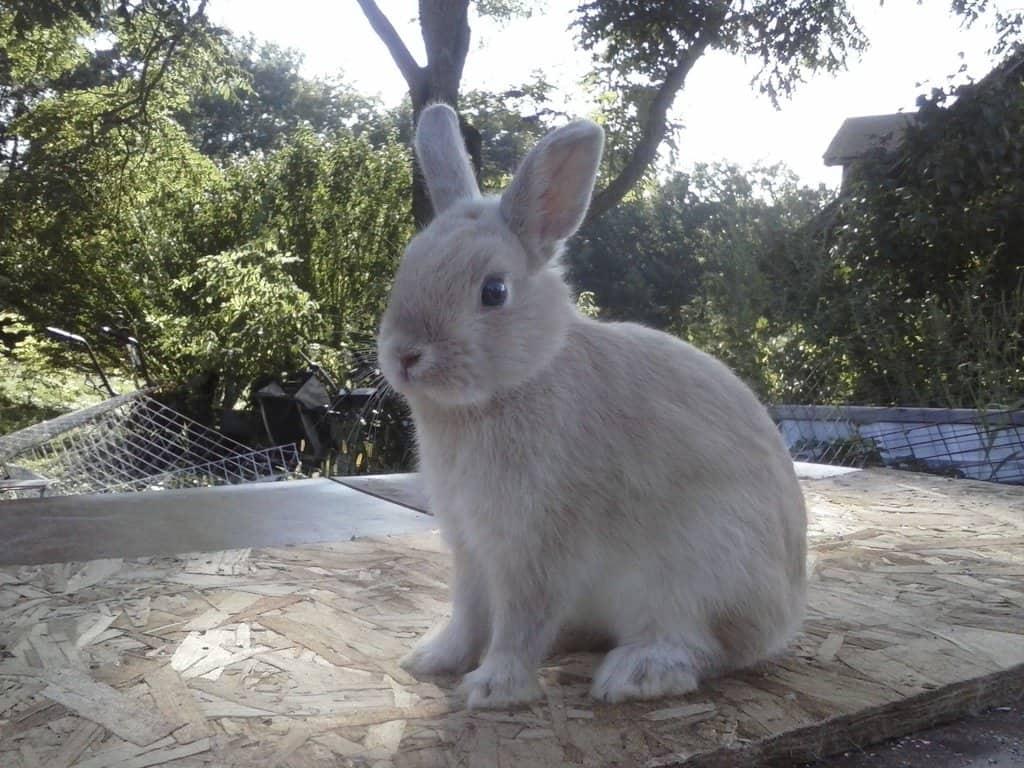 dwarf rabbits_1