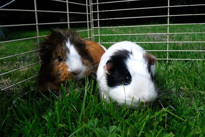 guinea pig_5