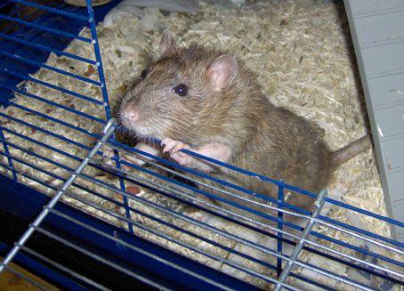 rat cage_4