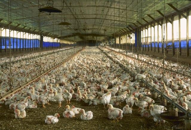 chickens-summer-2