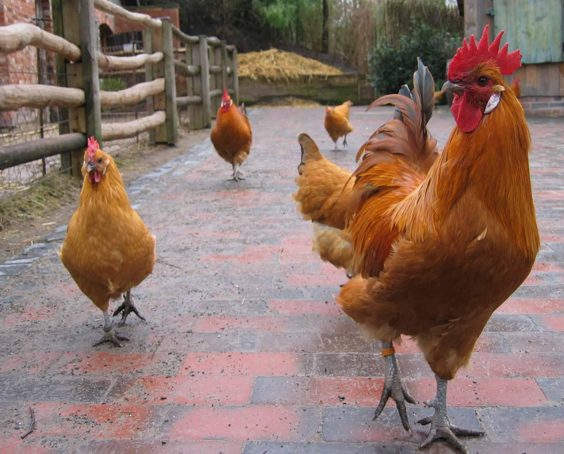 chickens-summer-6