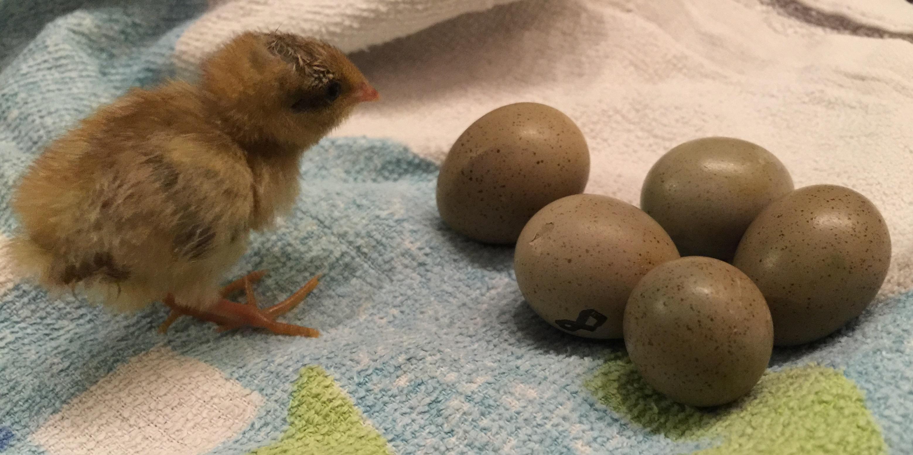 egg-incubator-5