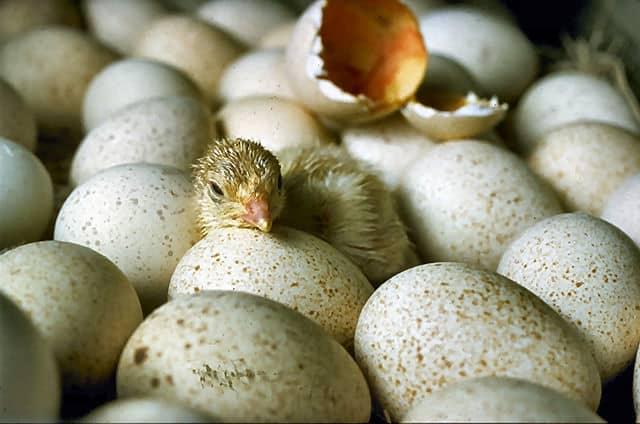 egg-incubator-6