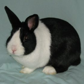 Dutch rabbit - 1