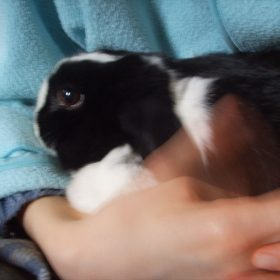 Dutch rabbit - 2