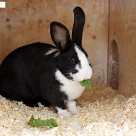 Dutch rabbit - 3