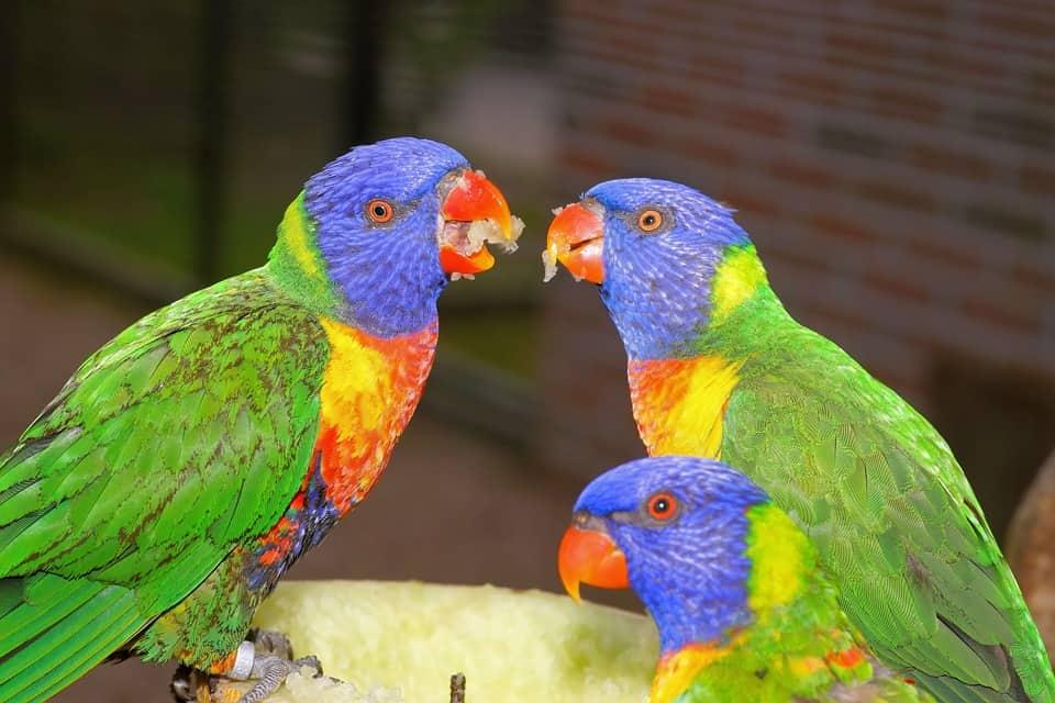 bird breeds - 1