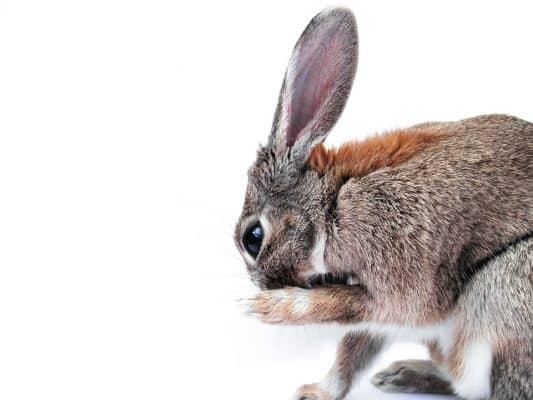 rabbit breed - 1