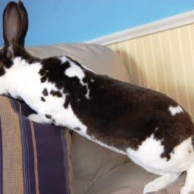 rabbit mini rex - 3
