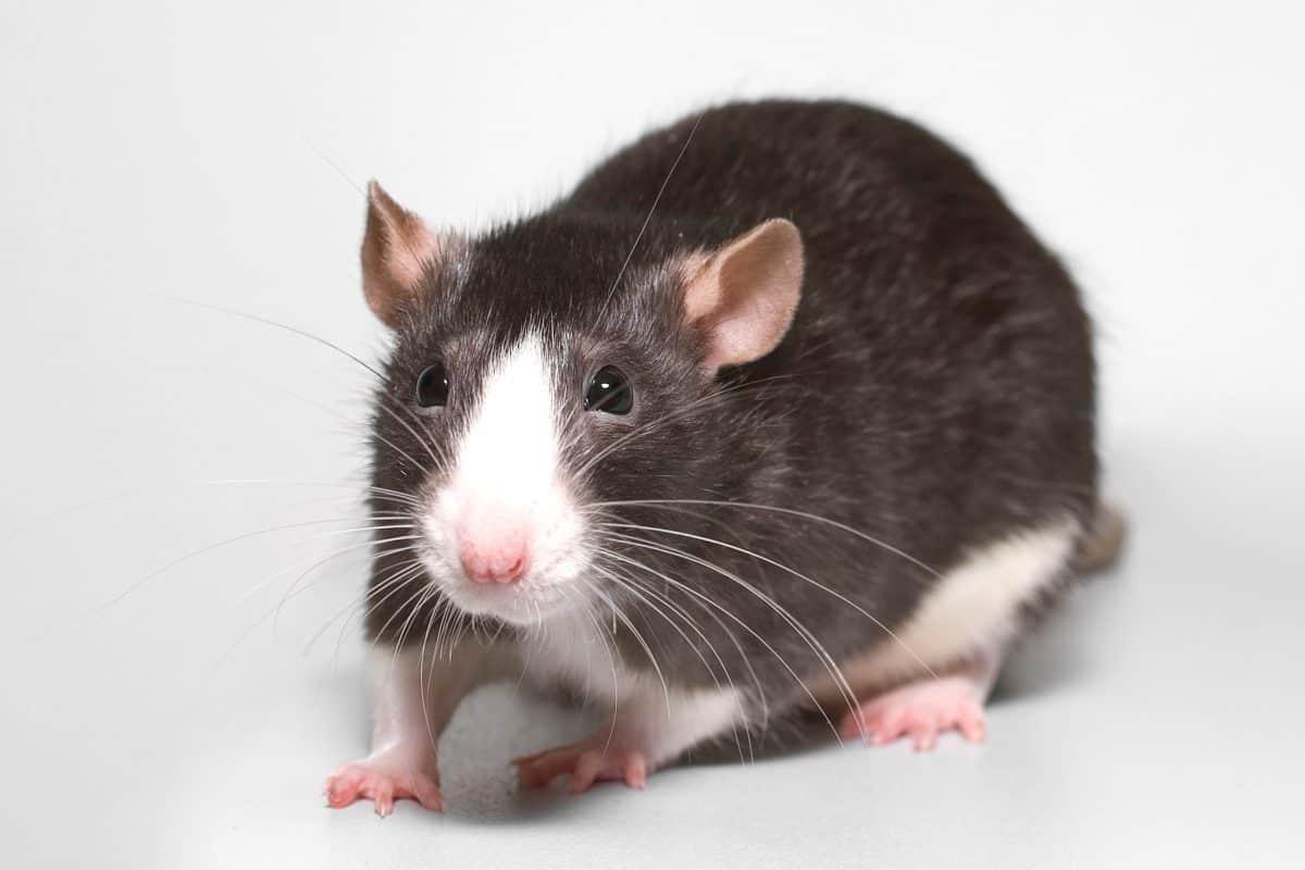 rat facts - 1