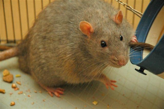 rat facts - 2
