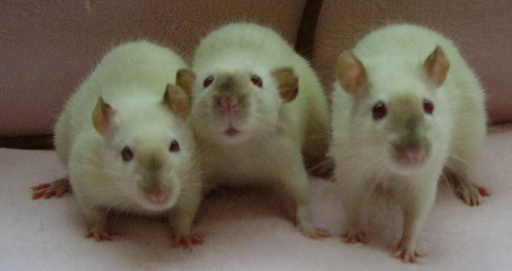 rat facts - 3