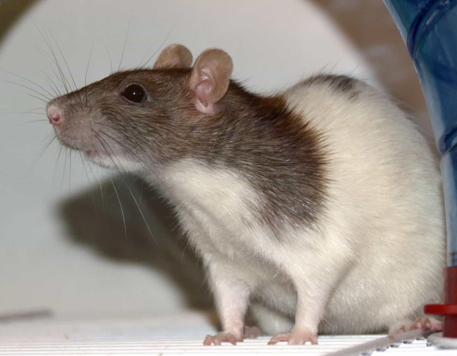 rat facts - 4