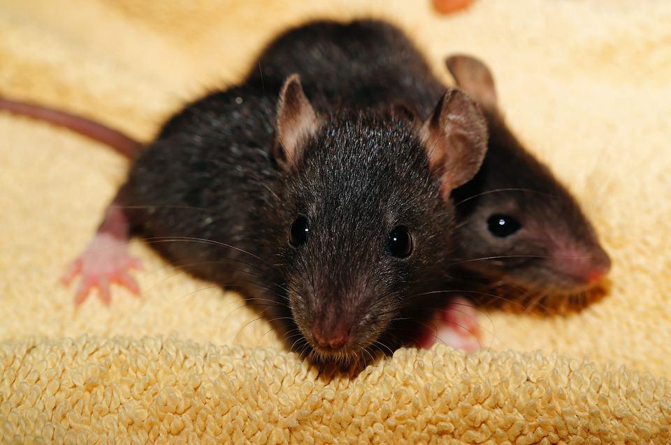 rat facts - 6