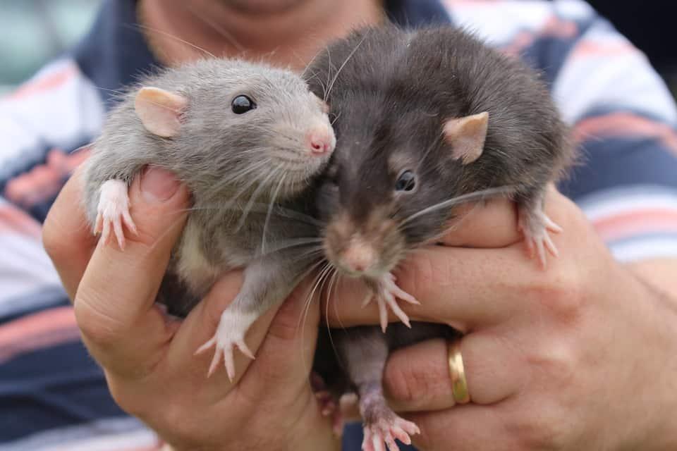 rat facts - 7
