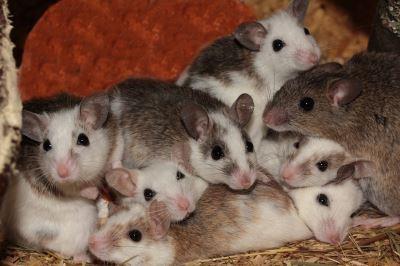 pet_rats_-_1