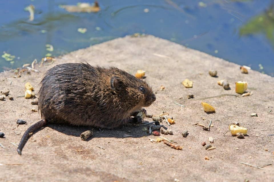 rat diet - 1