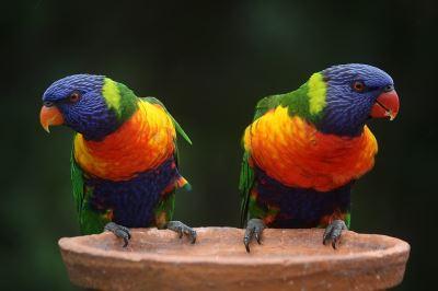 birds_of_Australia_-_3