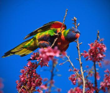 birds_of_Australia_-_4