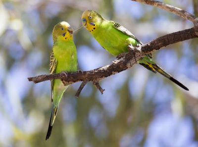 birds_of_Australia_-_6