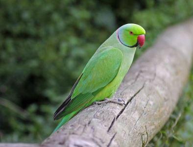 birds_of_Australia_-_7