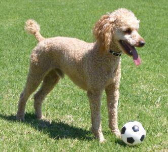 tamest_dog_breeds_-_4_poodle