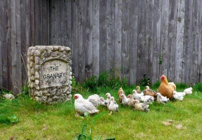raising_backyard_chickens_with_kids_-_2