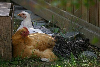 raising_backyard_chickens_-_2