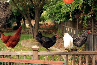 raising_backyard_chickens_-_4