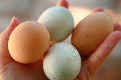 raising_backyard_chickens_-_5