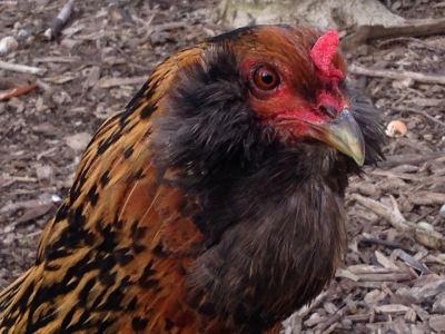 5_Common_Illnesses_in_Backyard_Chickens_-_6