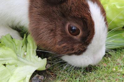 pet rabbit