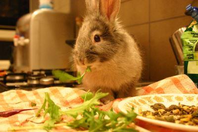 rabbit chewing