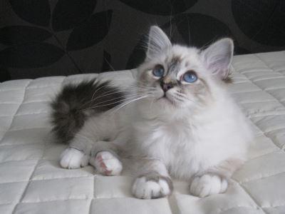 birman, cat breeds