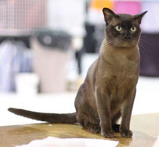 burmese, cat breeds