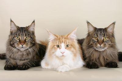 maine coon, cat breeds