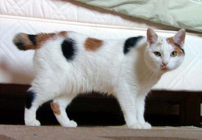 manx, cat breeds