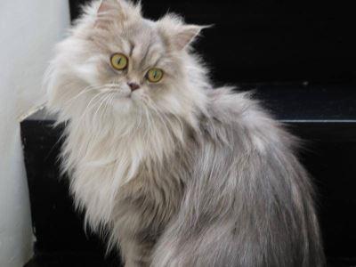 persian, cat breeds